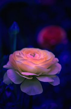 How stunning is this?  ~~The Rose... ~ glowing pink rose by Gilles_M~~
