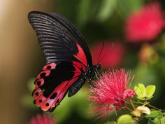 Striking coloring & exquisite patterns of this beautiful butterfly, is a…