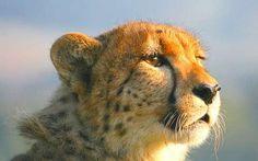 La disparition des grands prédateurs nuit gravement aux écosystèmes