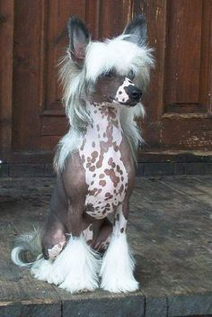 "Chinese Crested- LOL- Took one of those  on-line :What dog are you?"" questionnaires and this is what I got as a result.  Fits in many ways...  they are cute aren't they?  I would own one if I lived in a warmer climate."