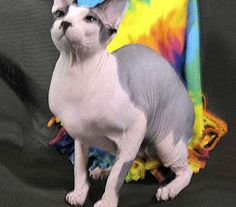 Sphynx, Sphynx Cat, Canadian Hairless Cat, Moon Cat, or Wrinkled Cat