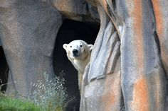 Siku, a 6-year-old male polar bear, inhabits the new Walter Family Arctic Tundra at Chicago's Lincoln Park Zoo.
