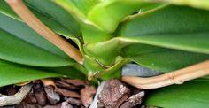 Cum deosebim mugurele florifer de rădăcini, la orhidee?   Paradis Verde