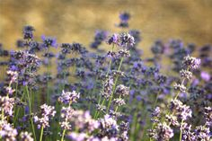 Lavender flowers field digital photography download by ZenandChic, $10.00
