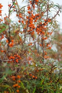 Sea buckthorn bushes with ripe orange fruits; Healthy berries wild; Typical coastal vegetation; Superfood