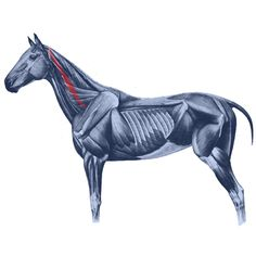 The mulitfidus cervicus muscles connect the horse's neck vertebra to each other.
