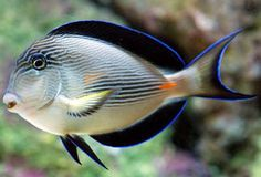 Sohal Tang Species Acanthurus sohal of saltwater fish Underwater Creatures, Underwater Life, Ocean Creatures, Saltwater Aquarium Fish, Saltwater Tank, Freshwater Aquarium, Marine Aquarium, Marine Fish, Colorful Fish