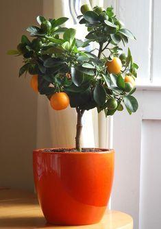 Não é porque você mora em apartamento ou tem pouco espaço em casa que não vai poder ter uma árvore pra chamar de sua.     Na hora de cultivar árvores frutíferas, prefira os grandes vasos de cerâmica, que facilitam a respiração da planta em crescimento.