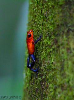 Strawberry Poison Dart Frog, Costa Rico. #ribbit #frog ❤️