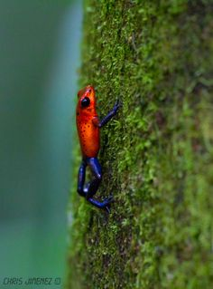 Strawberry Poison Dart Frog, Costa Rico. #ribbit #frog ❤️ Colorful Animals, Nature Animals, Cute Animals, Strawberry Poison Dart Frog, Poison Heart, Frog Terrarium, Costa Rico, Amazing Frog, Frog Illustration