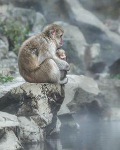 Jigokudani Monkey Park, snow monkey, Japan