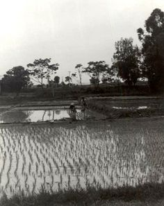 In ancient china Irrigation effected it because only 10%  of the land could be used to plant rice so most of that land was used to plant rice leaving less land to live on. It positively effects China because watering crops  was not needed.