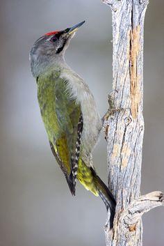 Grey-headed woodpecker (Picus canus) Седой дятел