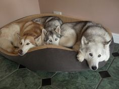 How many Huskies can fit in one bed?