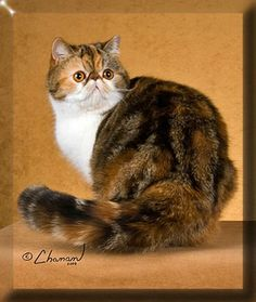 exotic british short haired  cats | Exotic Shorthair Cat Rescue Indiana