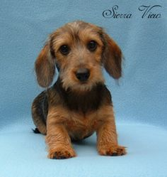 Google Image Result for http://puppies-dogs-breeders.com/images/sierraview-dachshunds/sierraview-dachshunds_image1.jpg