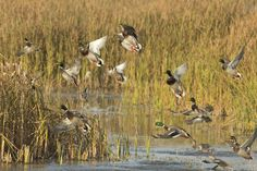 Tips for Small Water and Pond Duck Hunting  Big is not always better, especially when it comes to duck hunting. When duck season opens, many of the large hot spots are absolutely packed with hunters. If you do not get there early enough, you are pretty much out of luck.