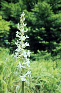 Weiße-Händelwurz-Gymnadenia-odoratissima-(Orchideenwald-Freudenstadt-Juli-1963)