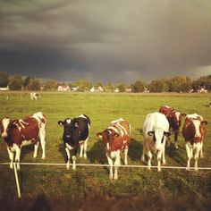 Een stel koeien Omgeving Garmerwolden