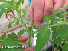 Ausgeizen der Tomatenpflanzen