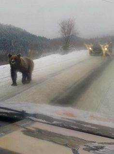 Pic taken of bear in Bieszczady Mountains, Poland