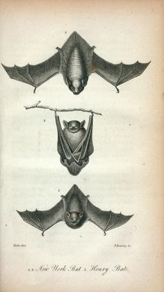 Antique Scientific Illustration Bats Hanging - halloween