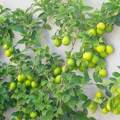 Espalier Dwarf Lime x Fruit Garden, Edible Garden, Vegetable Garden, Citrus Garden, Garden Shrubs, Garden Plants, Garden Landscaping, Espalier Fruit Trees, Trees And Shrubs