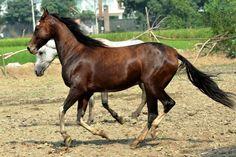 marwari horse - Google Search