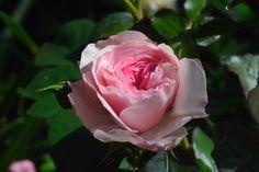 Uutta ruusua puhkeaa