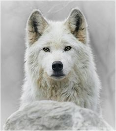 A white wolf takes notice of the most subtle change or anomaly in its environment and becomes alert to any potential risk...