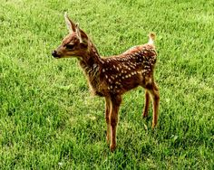 This orphaned Mule Deer fawn was raised and released back to the wild by the Southwest Wildlife Foundation. His photo will be featured in our 2015 calendar. Calendars will be available for a $10 donation in December 2014 for updates please join us on Facebook https://www.facebook.com/groups/85218228664/