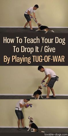 How To Teach Your Dog To Drop It / Give By Playing Tug-Of-War @KaufmannsPuppy