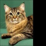 American Bobtail high definition wallpapers