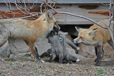 Red Fox parents