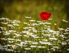 Alone by Boglarka Vero on Daisy Field, Alone, Poppies, Plants, Flowers, Flora, Plant, Poppy, Planting