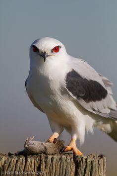 Death stare -- Black-shouldered Kite | Flickr - Photo Sharing!