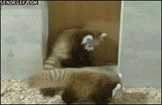 10 GIFs Demonstrating The Ferocity of Red Pandas