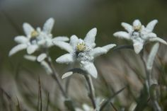 Edelweiss...It's soo out of the way on a tall mountain that many climbers have lost their life trying to get one of these.