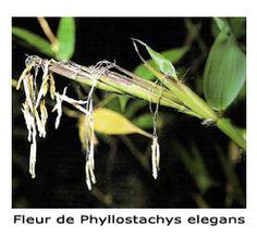 Floraison de phyllostachys elegans