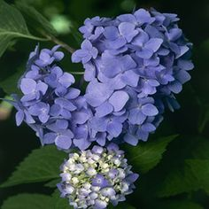 Hydrangeas give you so many choices for brilliant color when the days grow long and hot.