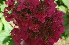 new hydrangeas for 2013   New Hydrangea Varieties to Grow in 2013