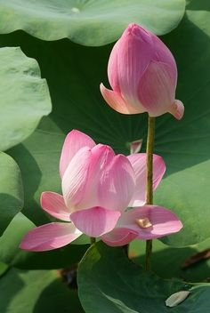 Lotus, so delicate.