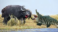 Water Buffalo vs Crocodile | Crocodile Attack Documentary | Crocodile Fi...