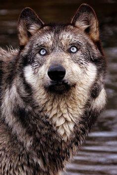 bruxa da água, e4rthy: Wolf byYair-Leibovich