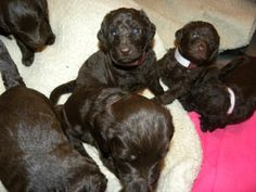 Chocolate Labradoodle Puppies