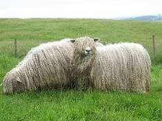 Lincoln Longwool sheep, known for their long, beautiful wool; this is an excellent site for wool!