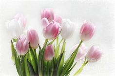 Pink And White Tulips - Photography by Sylvia Cook