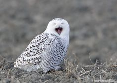 snowy owl laughing at the divine comedy of it all Unique Animals, Animals Beautiful, Cute Animals, Photo Pattern, Owl Pictures, Owl City, Snowy Owl, Cockatoo, Smile Face