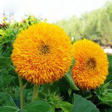 Caliente venta Toy Rare oso de girasol orgánico Helianthus Annuus semillas jardinería flor Ornamental semillas de la planta 60 unids(China (Mainland))