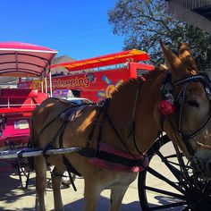 Beautiful hurdle and carriage in New Orleans  #bourbonstreet #neworleans #nola #frenchquarter #horse #horseandcarriage #horseandbuggy #buggy #pretty #fun by nikkigirl_77